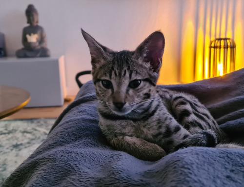 Das Leben mit einer echten Wildkatze – Rassenportrait Savannah Katze!